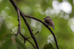 Bird (Asian brown flycatcher) on a tree Royalty Free Stock Photo