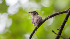 Bird (Asian brown flycatcher) on a tree Royalty Free Stock Photos