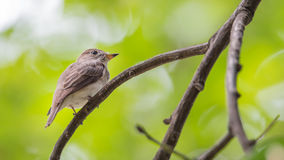 Bird (Asian brown flycatcher) on a tree Royalty Free Stock Images
