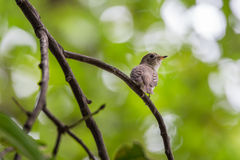 Bird (Asian brown flycatcher) on a tree Stock Images