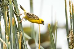 Asian Golden Weaver Island on the grass. Bird Asian Golden Weaver Island on the grass.In the natural lagoon. On a sunny day Stock Photo