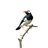 Bird (Asian Pied Starling) isolated on white background Stock Photo