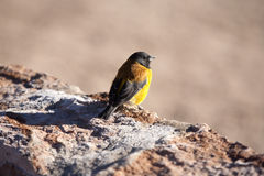 Bird in Atacama desert. Bird near Geysers del tatio on Andes, Chile Royalty Free Stock Photography