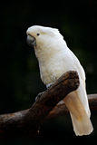 Bird from Australia. Leadbeater cockatoo, Cacatua leadbeateri, pink and white parrot in the nature habitat. Bird from from wild, A Stock Image