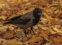 Bird in autumn Royalty Free Stock Photography
