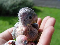 Bird baby. My Budgerigar Bird Stock Photo