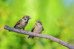 Bird and baby bird on branch. Royalty Free Stock Photography