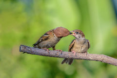 Bird and baby bird on branch. Eurasian Tree Sparrow Passer montanus, beautiful bird feeding hungry baby on branch Royalty Free Stock Photos