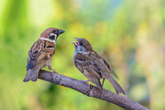 Bird and baby bird on branch. Royalty Free Stock Photos