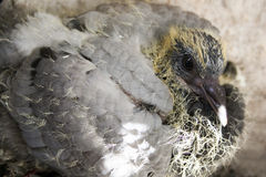 Bird baby dove in the nest. Photo for your Royalty Free Stock Image