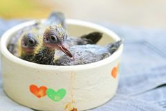 Bird, baby pigeon. Little young birds in a bird nest, baby bird. Pigeon, Doves royalty free stock photos