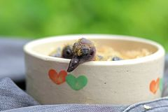 Bird, baby pigeon. Little young birds in a bird nest, baby bird. Pigeon, Doves royalty free stock images