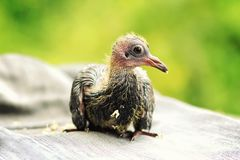 Baby Pigeon Stock Images - Download 865 Royalty Free Photos