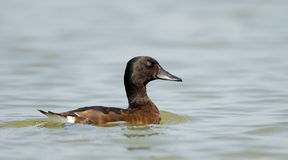 Bird, Baer`s Pochard  Aythya baeri Stock Photography