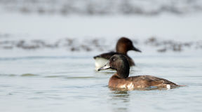 Bird, Baer`s Pochard  Aythya baeri Stock Images