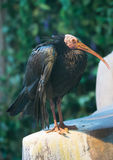 Bird bald IBIS Royalty Free Stock Photos