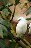 Bird --- Bali Mynah Royalty Free Stock Photography