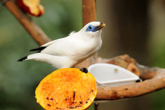 Bird --- Bali Mynah Stock Photos
