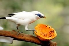 Bird --- Bali Mynah Stock Photos