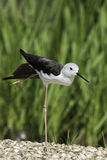 Bird ballet dancer in arabesque position. Black-winged stilt standing on one (very long spindly) leg. It looks rather like it is doing ballet in arabesque pose Royalty Free Stock Images