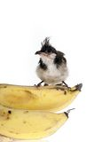Bird banana Royalty Free Stock Images