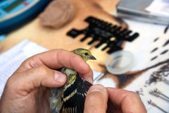 Bird Banding Royalty Free Stock Photography