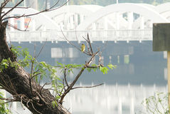 Bird. At barbar bridge, ,  viewing,  in early morning, green , green  on green tree, green  watching, river side Stock Photos