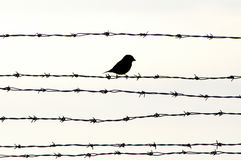 Bird on barbed wire. Small black bird on barbed wire royalty free stock photos