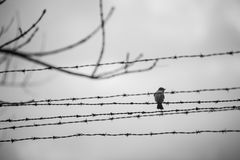Bird in the barbed wire. A bird alighted in a barbed wire in the sunset Stock Photos