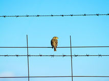 Bird on a barbed wire with blue sky Stock Images