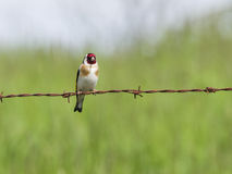 Bird on barbed wire Royalty Free Stock Photo
