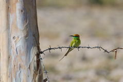 Bird on the barbed wire. After harvest Royalty Free Stock Image