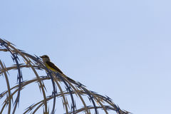 Jail Bird on a barbed wire fence royalty free stock images