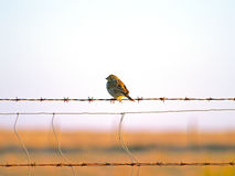 Bird on a barbed wire Stock Image