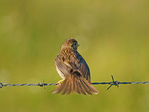 Bird on a barbed wire Royalty Free Stock Photography
