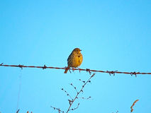 Bird on a barbed wire Royalty Free Stock Image