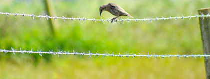 Bird on barbwire. A Bird balancing on barbwire Royalty Free Stock Photos