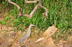 Bird Bare- throated Tiger- heron Tigrisoma mexicanum) Royalty Free Stock Image