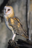Bird-Barn owl Stock Images
