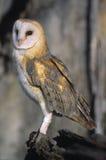 Bird-Barn owl. Portrait of a barn owl Stock Images