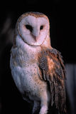 Bird-Barn owl Royalty Free Stock Photos