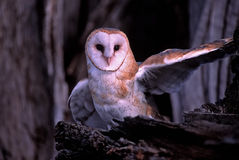 Bird-Barn owl Royalty Free Stock Image