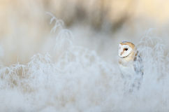 Bird Barn Owl, Tyto alba, sitting on the rime white grass in the winter morning light sun Stock Photography