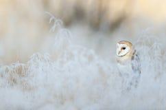 Bird Barn Owl, Tyto alba, sitting on the rime white grass in the winter morning light sun Stock Photography