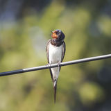Bird barn swallow sitting on the wire Royalty Free Stock Image