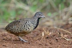 Bird, Barred Buttonquail Turnix suscitator Royalty Free Stock Photography