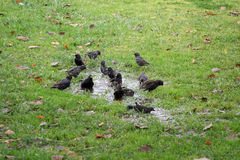 Bird bath. Birds take a Bird Bath in a puddle in the middle of some grass Royalty Free Stock Photos