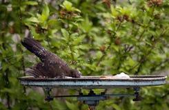 Bird Bath Royalty Free Stock Photo