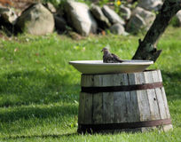 Bird bath. Morning dove in bird bath, mourning dove Stock Photography