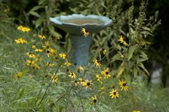 Bird bath and flowers. A wild growth of susan with a birdbath in the background royalty free stock photos